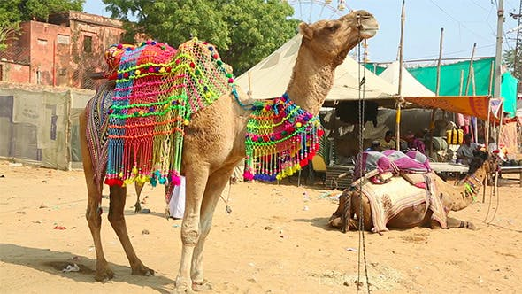 Thumbnail for Decorate Camel