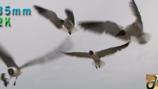 Thumbnail for Seagulls Close up flying on white sky