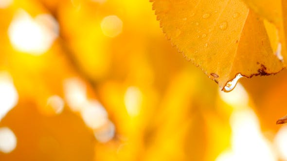 Thumbnail for Rain Drops On Yellow Autumn Leaves