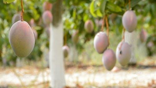 Mango Fruit Hanging