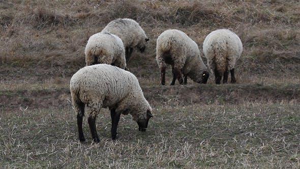 Thumbnail for Autumn Grazing Sheep