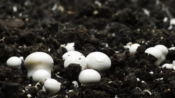 Thumbnail for Champignon Mushroom