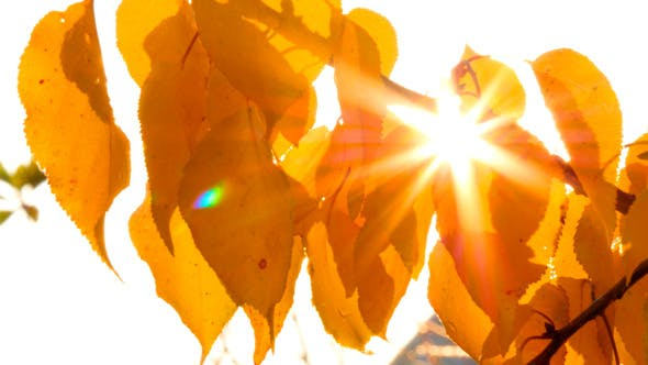 Thumbnail for Sun Shining Through Autumn Leaves