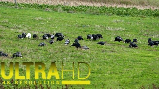 Thumbnail for Flock of Turkeys Grazing