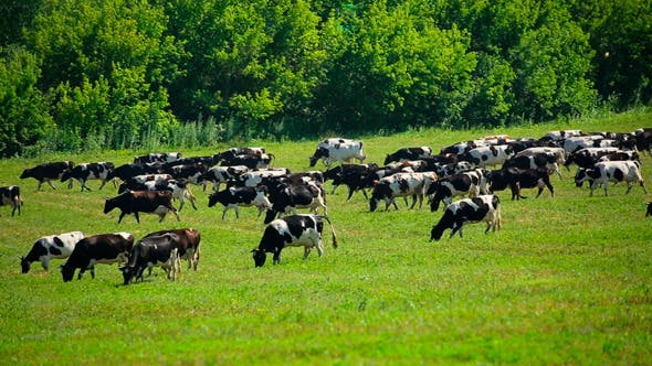 Thumbnail for Large Herd Of Cows On Pasture