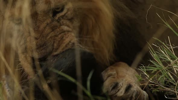 Thumbnail for Male Lion Eating