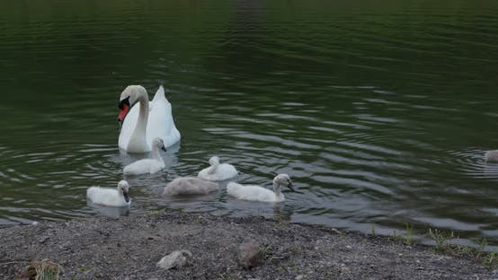 Thumbnail for Family of the swan in the lake