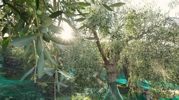Thumbnail for Olivenbäume Anbau Landwirtschaft