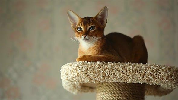 Thumbnail for Abyssinian Kitten