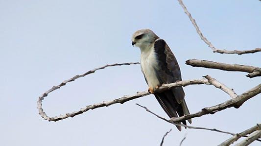 Thumbnail for Juvenile Eagle 02