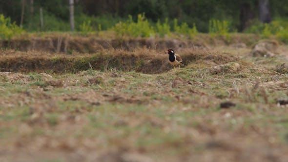 Thumbnail for Bird On Field