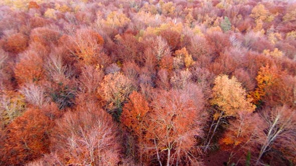 Thumbnail for Aerial View Flying Over the Top of the Beech Trees
