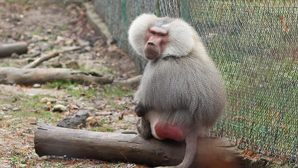 Thumbnail for Grey Baboon
