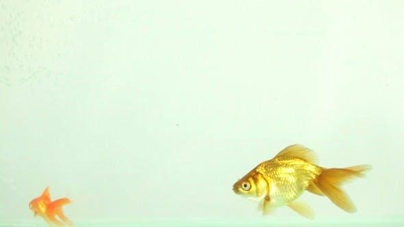 Thumbnail for Goldfish Swimming, Eating