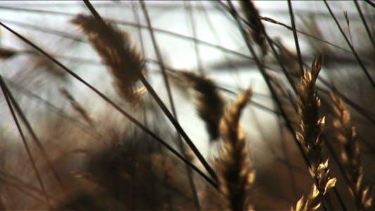 Thumbnail for Sunset Grass - HD