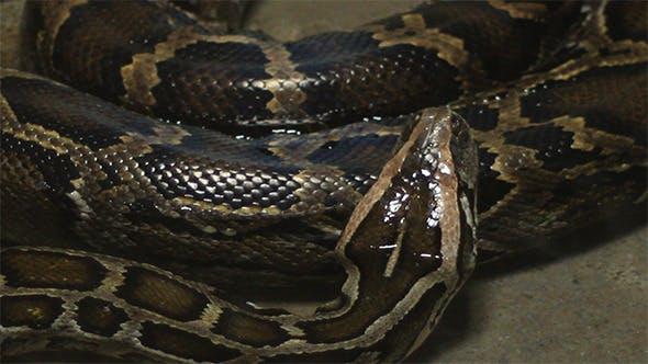 Thumbnail for Moving Boa Snake