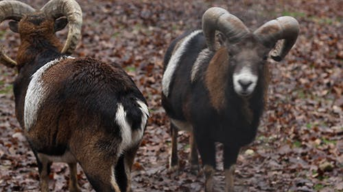 Two Mouflons