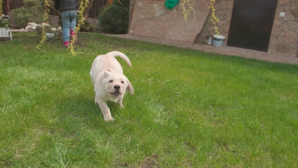 Thumbnail for One Lovely Puppy Dog Labrador Running To the Camera Outdoor on the Grassland. Slow Motion