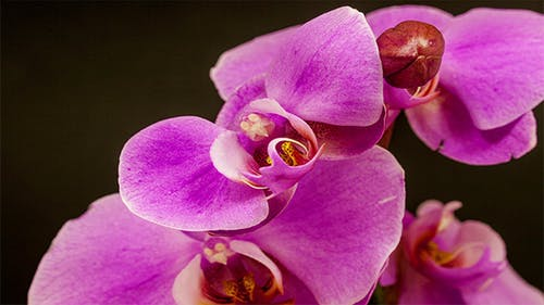 Purple Orchid Opening