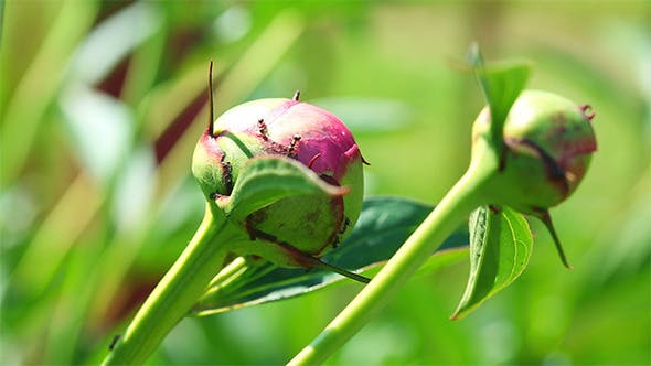 Thumbnail for Peony Buds