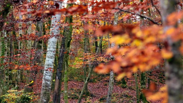 Beech Forest with Falling Leaves in Fall