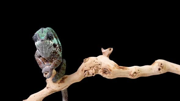 Thumbnail for Panther Chameleon Looking Around