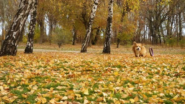 Thumbnail for Corgi Fluffy Autumn Walk