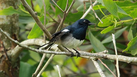 Thumbnail for Oriental Magpie Robin (Copsychus saularis)
