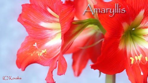 Amaryllis Flower 6