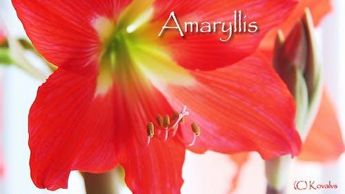Amaryllis Flower 7