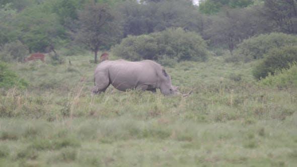 Thumbnail for Pan from a rhino walking around the bush
