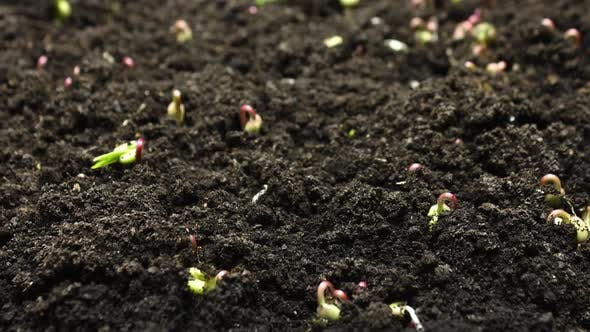 Thumbnail for Plant Growing in Timelapse, Sprouts Germination Green Bean, Spring and Summer Agriculture