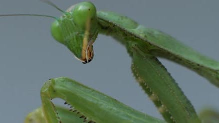 Macro shot of the praying mantis looking to the side on a bokeh background.