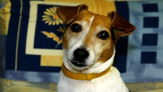 Cover Image for Hunderasse Jack Russell Terrier 3