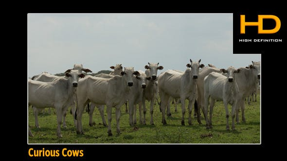 Curious Cattle
