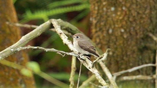 Thumbnail for Asian Brown Flycatcher (Muscicapa latirostris) 02