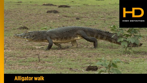 Thumbnail for Danger Alligator Walking