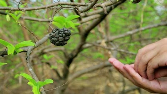 Thumbnail for Showing Coffee Beans On Tree By Hand 1