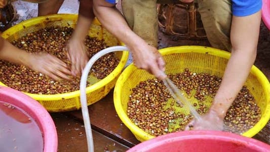 Thumbnail for Farmers Washing Collected Coffee Beans 1