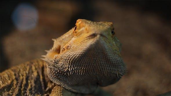 Bearded Dragon Reptile