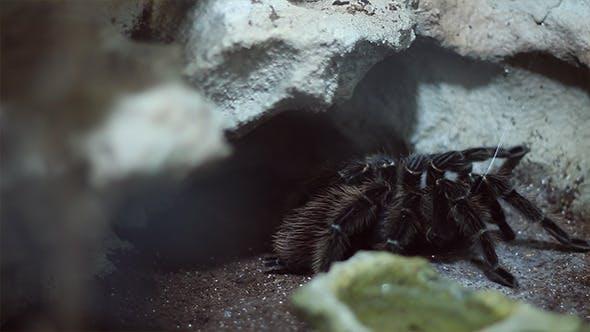 Thumbnail for Hairy Tarantula