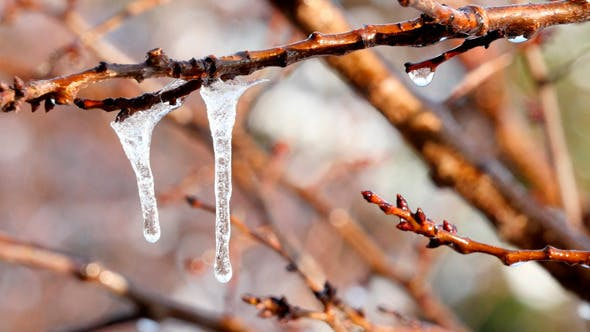 Thumbnail for Melting Icicles Hanging From Branches
