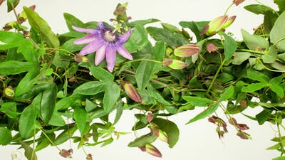 Passiflora Growing