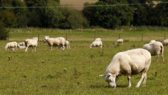 Thumbnail for Sheep 05