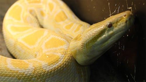 Big Burmese Python