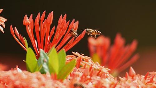 Bee and Ixora 01