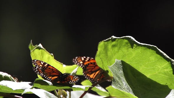 Thumbnail for Monarch Butterfly Sanctuary Mexico 46