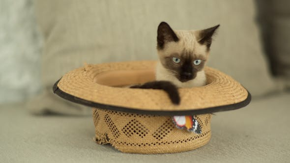 Thumbnail for Siamese Cat Plays Inside A Hat 1