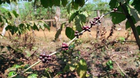 Thumbnail for Coffee Tree Plantation, Laos 3