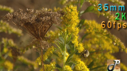 Thumbnail for Bee Pollinating Goldenrod Flowers